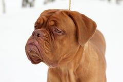 De hond van Bordeaux Stock Afbeelding