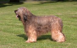 De hond van Briard Stock Afbeelding
