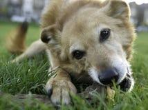 De Hond van Canaan Royalty-vrije Stock Afbeeldingen