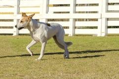 De hond van Canaan stock afbeeldingen