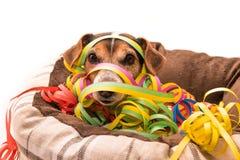 De hond van Carnaval Jack Russell royalty-vrije stock foto