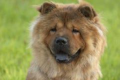 De hond van Chaw chaw Stock Foto's