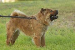 De hond van Chaw chaw op een leiband Stock Foto