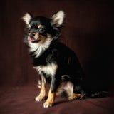 De hond van Chihuahua Stock Foto