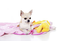 De hond van Chihuahua Royalty-vrije Stock Fotografie