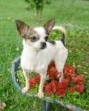 De hond van Chihuahua in bloemen Stock Afbeeldingen