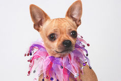 De hond van Chihuahua met buitensporige kraag Stock Foto's