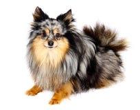 De hond van Chihuahua op witte achtergrond royalty-vrije stock afbeeldingen