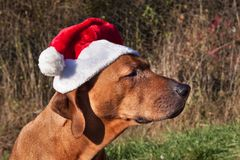 De hond van Christams Droevige hondogen Rhodesian Ridgeback Het onderzoeken van de ogen van de hond royalty-vrije stock fotografie