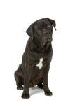 De hond van Corso van het riet royalty-vrije stock foto