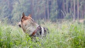 De hond van de Czhechoslovakianwolf bij de ochtend stock video