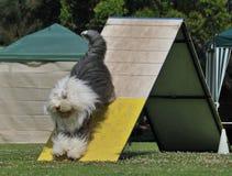 De hond van de behendigheid stock foto