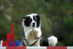 De hond van de behendigheid het springen Royalty-vrije Stock Afbeeldingen