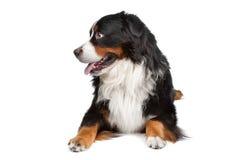 De Hond van de Berg van Bernese Stock Foto's