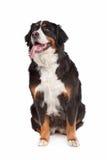 De Hond van de Berg van Bernese Stock Fotografie