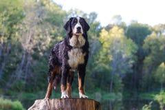 De Hond van de Berg van Bernese Royalty-vrije Stock Foto