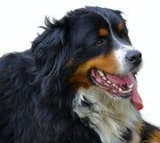 De Hond van de Berg van Bernese Stock Afbeelding