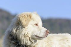 De hond van de bergherder Royalty-vrije Stock Afbeeldingen