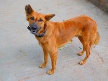 De hond van de bergstraat Stock Fotografie