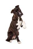 De Hond van de bergstraathond met Paw Up Stock Afbeeldingen