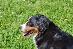 De Hond van de Berneseberg in het gras stock afbeelding