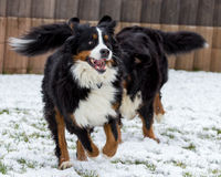 De Hond van de Berneseberg het Spelen Stock Afbeelding