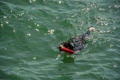 De Hond van de Berneseberg het zwemmen royalty-vrije stock fotografie