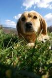 De hond van de blonde Stock Foto
