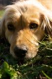 De hond van de blonde Stock Afbeelding
