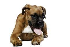De hond van de bokser Royalty-vrije Stock Foto
