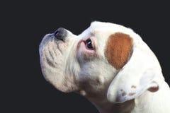 De hond van de bokser Royalty-vrije Stock Foto's