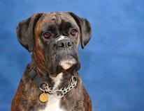 De hond van de bokser Stock Foto's