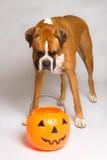 De Hond van de bokser binnen met Pompoen Stock Fotografie