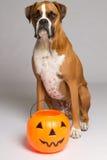 De Hond van de bokser binnen met Pompoen Royalty-vrije Stock Fotografie