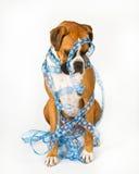 De hond van de bokser die in blauw lint wordt verpakt Stock Afbeeldingen