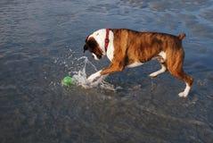 De hond van de bokser het spelen met bal in water Royalty-vrije Stock Foto