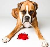De hond van de bokser met een boog Royalty-vrije Stock Fotografie