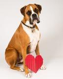 De Hond van de bokser met een hart Stock Fotografie