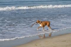 De Hond van de bokser in Oceaan Royalty-vrije Stock Afbeeldingen