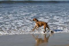 De Hond van de bokser in Oceaan Stock Afbeeldingen