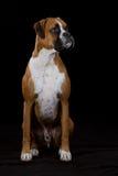 De Hond van de bokser op Zwarte Stock Foto