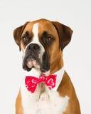 De hond van de bokser in Vlinderdas stock fotografie