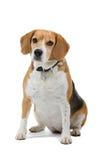 De hond van de brak Royalty-vrije Stock Foto's