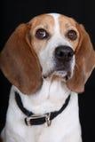 De Hond van de brak royalty-vrije stock afbeeldingen