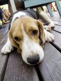 De hond van de brak leggen kijkt slaperig Stock Foto's