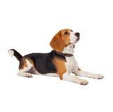De hond van de brak op witte achtergrond stock foto's