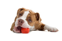De hond van de Buldog van de renaissance Royalty-vrije Stock Foto's