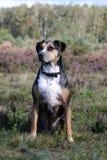 de hond van de catahoulaluipaard stock fotografie