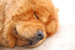De Hond van de chow-chow Stock Afbeeldingen