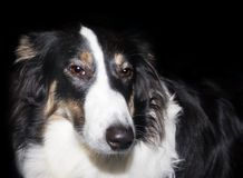 De Hond van de collie Royalty-vrije Stock Foto